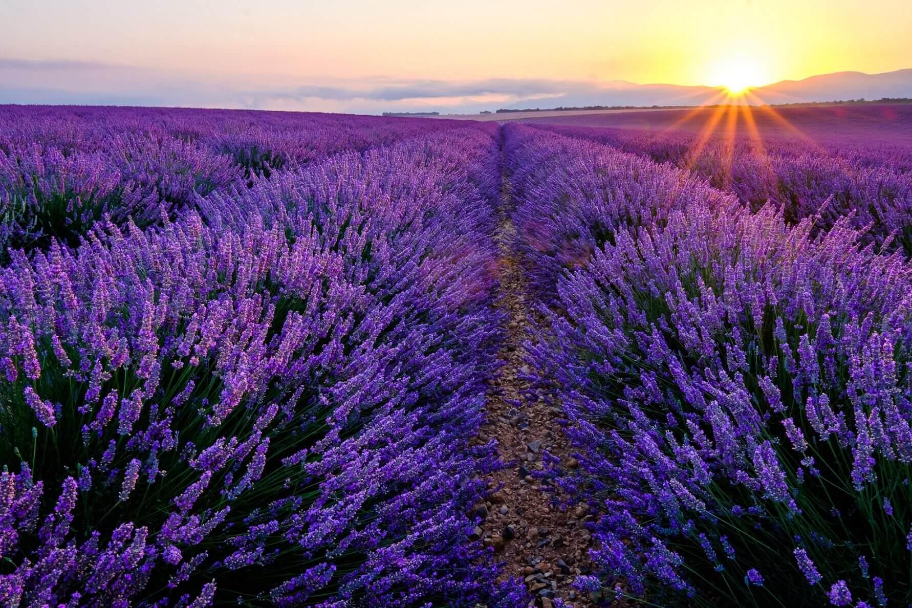 Wie Lavendel gegen Schnupfen hilft
